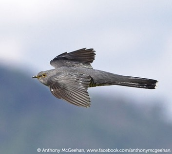 Cuckoo-in-flight-Anthony-McGeehan