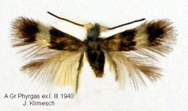 enteucha acetosae male