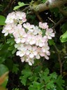 Hawthorn pink form