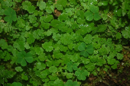 Cornish Moneywort